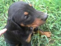 Four AKC Doberman puppies for sale. Born July 2 Will be