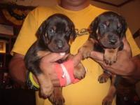 I HAVE 2 MALE DOBERMAN PUPPIES THAT WILL BE READY IN 2