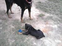 I have a beautiful litter of AKC Doberman Pinscher pups