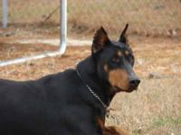 We have been raising dobermans for 12 years and we home