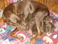 BEAUTIFUL!!!! Doberman puppies with tails and dew claws