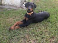 AKC Doberman puppies - FEMALE. One black and rust. All