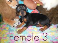 Full Breed Doberman puppies; born February 15th, 2013.