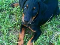 Gorgeous AKC Doberman puppies with a blend of American
