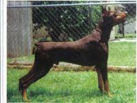 Akc doberman pups Great health ,temperment, and