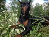 AKC doberman pups, 30+ years of doberman only breeding