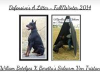 Defensive Dobermans together with Black Diamond