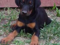 AKC Doberman puppies for sale. We have Black and Tan
