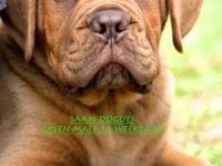 AKC Dogue de Bordeaux aka French Mastiff 13 Week old