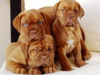AKC Registered Dogue De Bordeaux Turner and HOOCH dogs