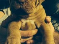 I have a lovely litter of French mastiff puppies