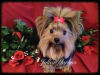 AKC Dollface Tiny & Small Yorkie Boys will be up to