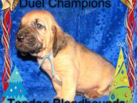 AKC duel Show Champions. Sire is Imported from Czech