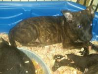 Dutch Shepherd pup for sale.Great working dogs. For