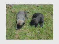 Maltese Puppies For Sale In Clinton North Carolina Classifieds