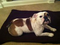 Stunning 8 month aged AKC English bulldog. She has