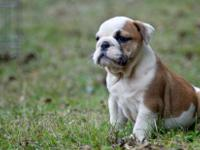 AKC English Bull Dog (Female and Male).They are in need