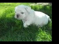 Animal Type: Dogs Breed: Bulldog Both males and females