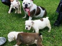 I have 2 females and 1 male AKC English bull dogs ready