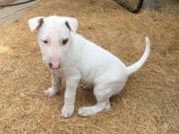 AKC ENGLISH BULL TERRIER PUPPIES CHAMPION BLOODLINE AND