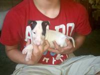 AKC English Bull Terrier Puppies. (9 WEEKS OLD) 2