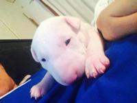 Beautiful Bull Terrier young puppies for sale. Young