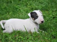 Beautiful Puppies AKC reg. Full Breeding rights is