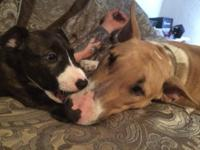 I have 2 female AKC English Bull Terriers. One is a