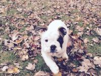 Description: Beautiful English bulldog with AKC papers