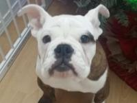 I have a 6 month old female purebred English Bulldog