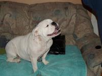 AKC English Bulldog, 2 year old female, all white, Has