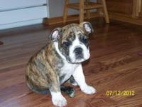 I have a 2yo english bulldog. He is a fawn and white. I