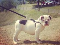 Female 12 week English Bulldog She is a sweet loving
