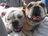 Akc female English bulldog two years old. Not spayed