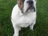 4 year old female AKC English Bulldog. Wonderful with
