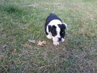 We have a beautiful AKC registered male Bulldog