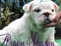 Akc English Bulldog. Storm is searching for her forever