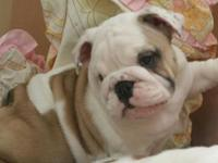 AKC English Bulldog female prepared for her forever