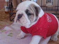 Now taking deposits for these beautiful English Bulldog