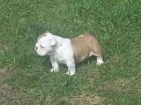 Female English bulldog born 3-14-15 ready for her new