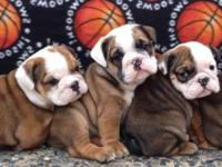 AKC English Bulldog Located in San Jose Ca Available 2