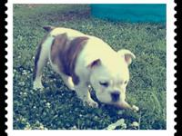 Meet Miss Weezer...she's a purebred english bulldog