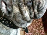 English Bulldog male, 3 years old. AKC Full