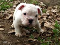AKC English bulldog puppy 8 weeks old 3 male 3 female