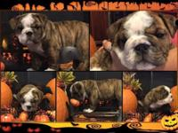 Beautiful white and fawn brindle male English bulldog.