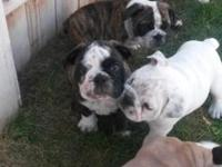 I have three English bulldog puppies for sale. They are