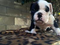 I have a male black and white AKC English Bulldog. Blue