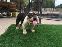 i have 3 female adult english bulldogs for sale all