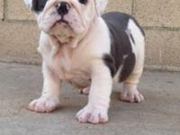 Female English Bulldog 8 weeks old ready to go. 6k can