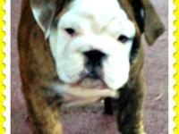 AKC English Bulldog Female. She is ready for her new